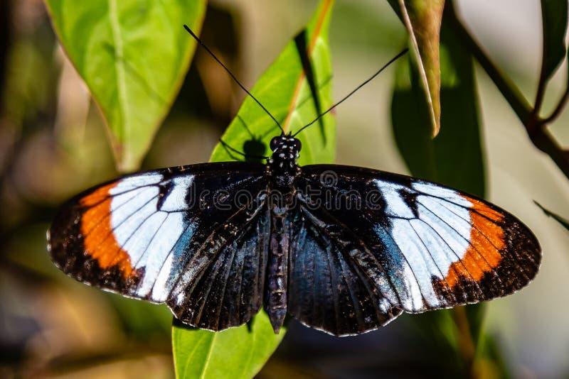 Mariposa negra, de la naranja, blanca y azul Heliconius en la hoja verde imagen de archivo