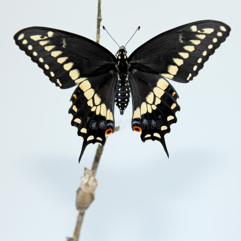 Mariposa negra de Swallowtail fotos de archivo