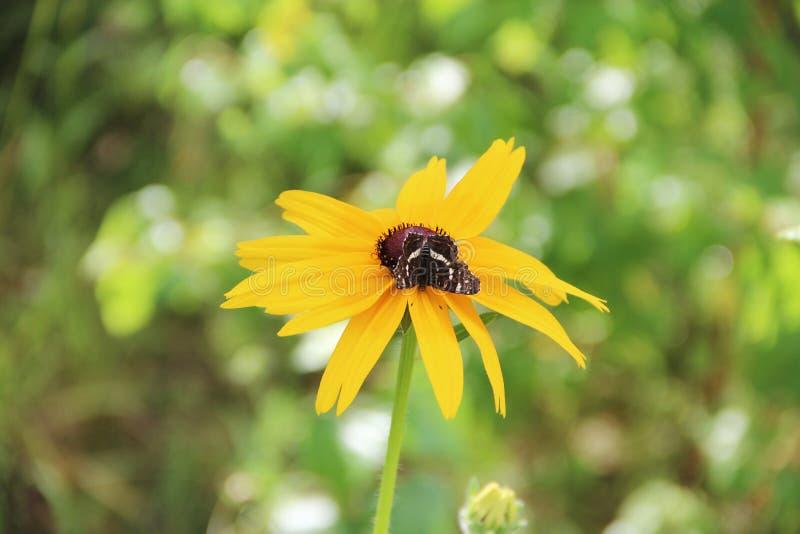 Mariposa negra en la flor del laciniata del rudbeckia Flor amarilla foto de archivo