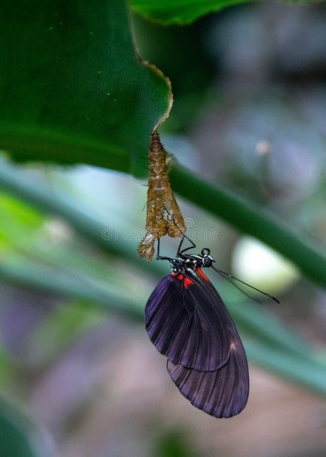 Mariposa negra que cuelga de su crisálida fotos de archivo libres de regalías