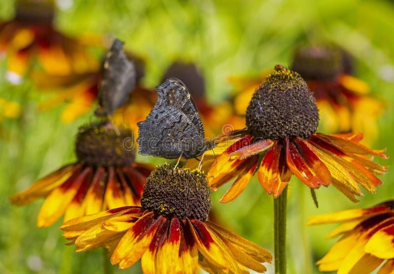 Mariposa oscura que bebe a Nectar From Orange Petals fotos de archivo libres de regalías