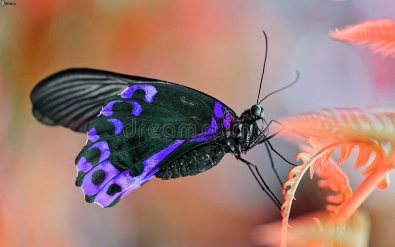 Mariposa púrpura imagen de archivo libre de regalías