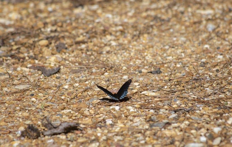 mariposa púrpura Rojo-manchada fotografía de archivo libre de regalías