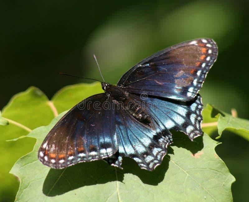 mariposa púrpura Rojo-manchada fotografía de archivo