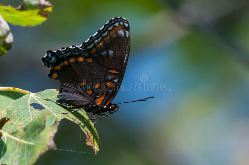 mariposa púrpura Rojo-manchada imagenes de archivo