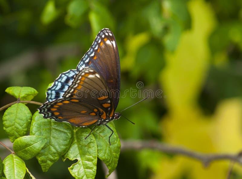mariposa púrpura Rojo-manchada foto de archivo libre de regalías