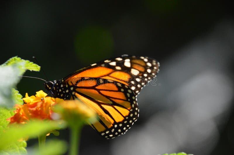 Mariposa/Papillon imagen de archivo libre de regalías