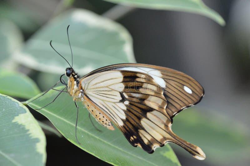 Mariposa/Papillon foto de archivo libre de regalías