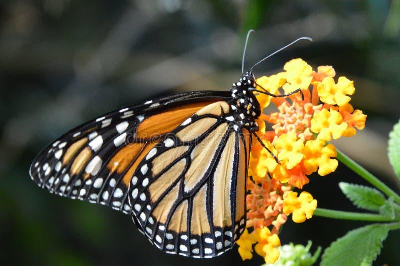Mariposa/Papillon fotos de archivo