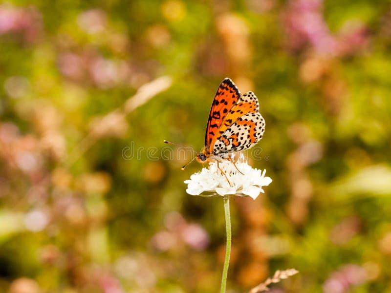 Mariposa pequeña, colorida, hermosa en una flor fotos de archivo