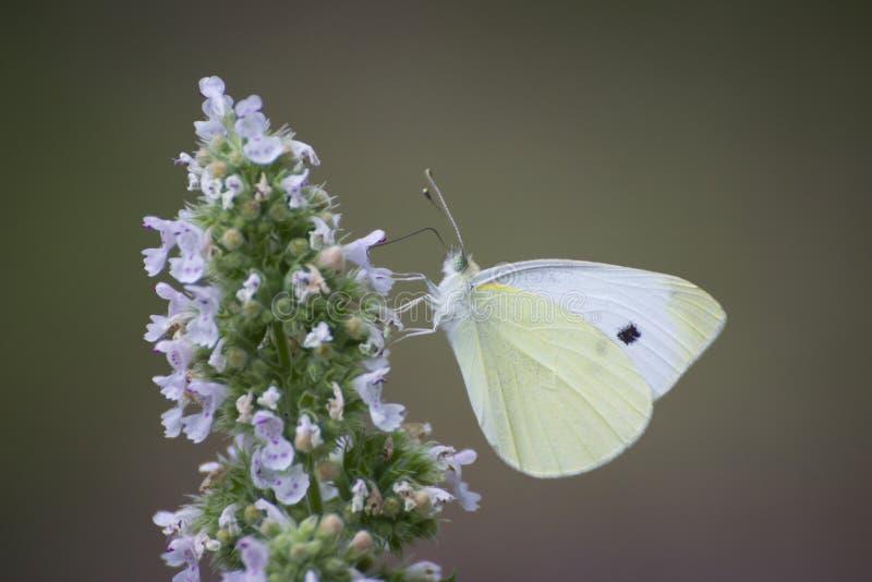 Mariposa - pequeña mariposa blanca en la flor fotos de archivo
