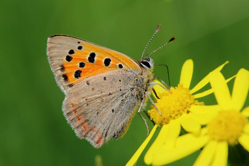 Mariposa - pequeño cobre (phlaeas del Lycaena) en el prado fotografía de archivo