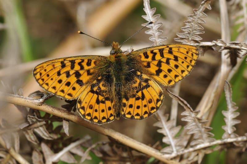 mariposa Perla-confinada del Fritillary imagenes de archivo