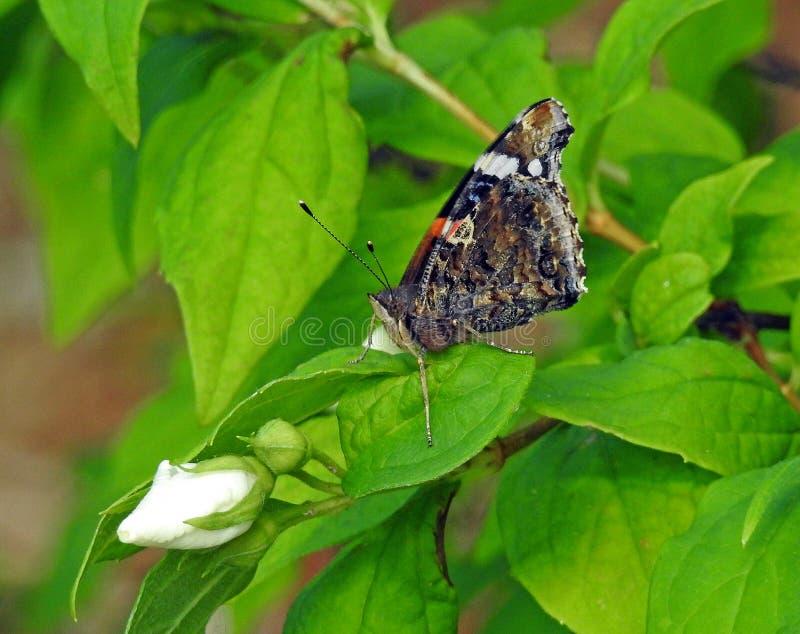 Mariposa pintada británica de la señora que alimenta en el néctar de la flor del arbusto color de rosa fotos de archivo