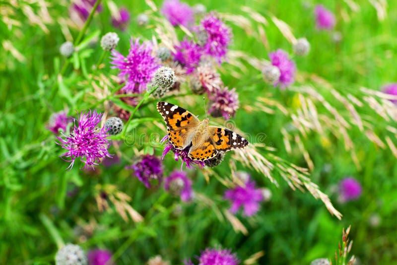 Mariposa pintada de la señora en la opinión de top púrpura floreciente del primer de las flores del cardo, cardui anaranjado herm fotos de archivo libres de regalías