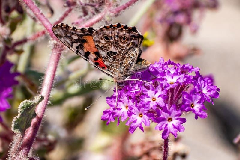 Mariposa pintada en un wildflower de Villosa del Abronia de la verbena de arena, parque de estado del desierto de Anza Borrego, s imagen de archivo libre de regalías