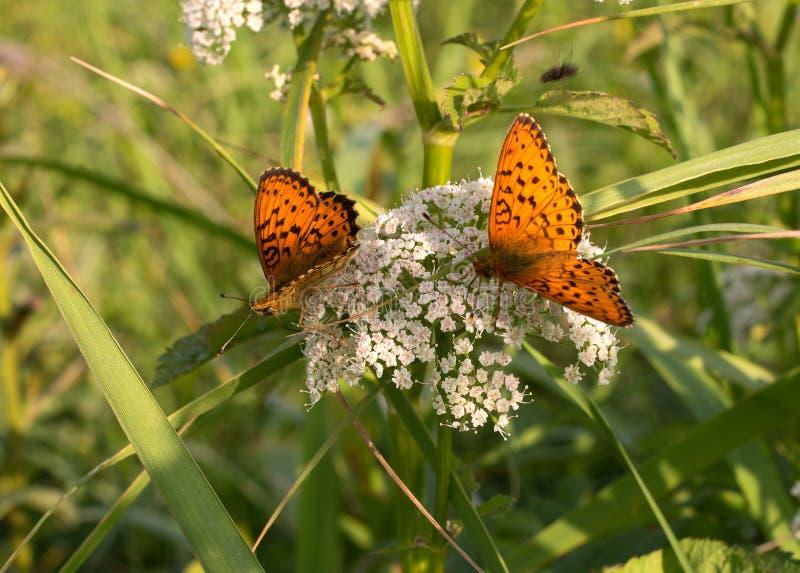 mariposa Plata-lavada del fritillary - paphia- del Argynnis con las alas abiertas que toman el sol en una flor blanca del campo D fotos de archivo libres de regalías