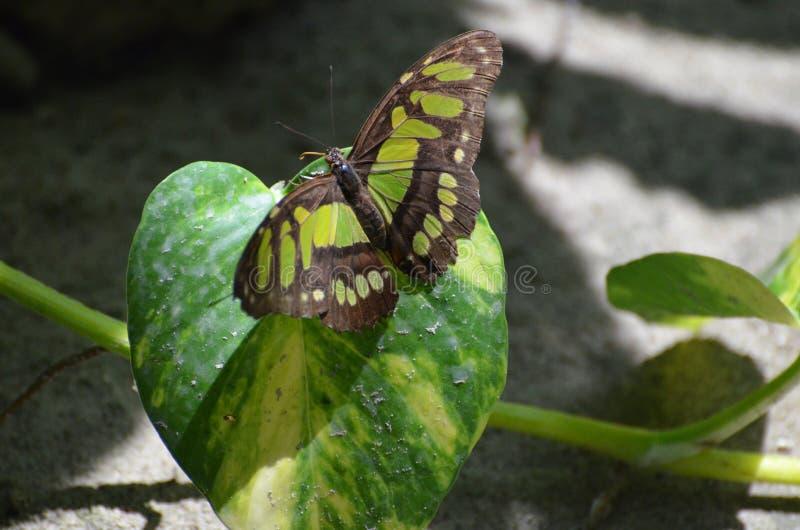 Mariposa preciosa de la malaquita que vive en cierre de la naturaleza para arriba imagenes de archivo