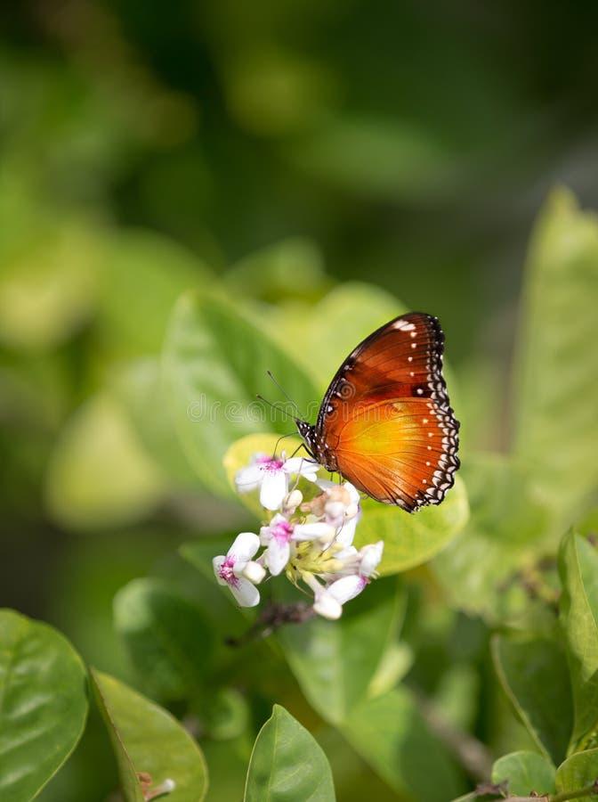 Mariposa que alimenta en una flor del verano contra fondo verde fotos de archivo