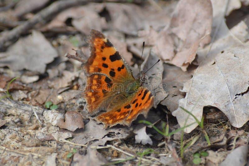 Mariposa que busca la paz fotos de archivo