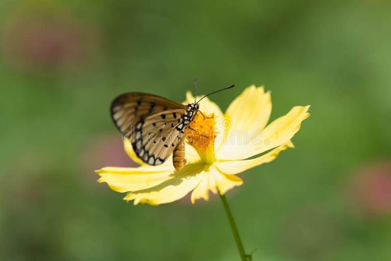 Mariposa que chupa el néctar de las flores imagen de archivo