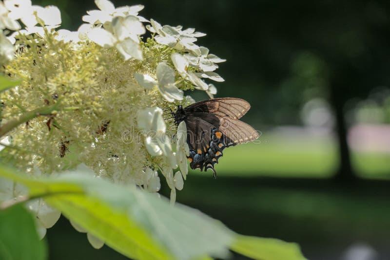 Mariposa que disfruta de las alegrías de la cosecha del tiempo de primavera fotos de archivo