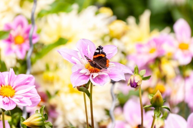Mariposa que forrajea en una flor púrpura fresca del jardín imagenes de archivo