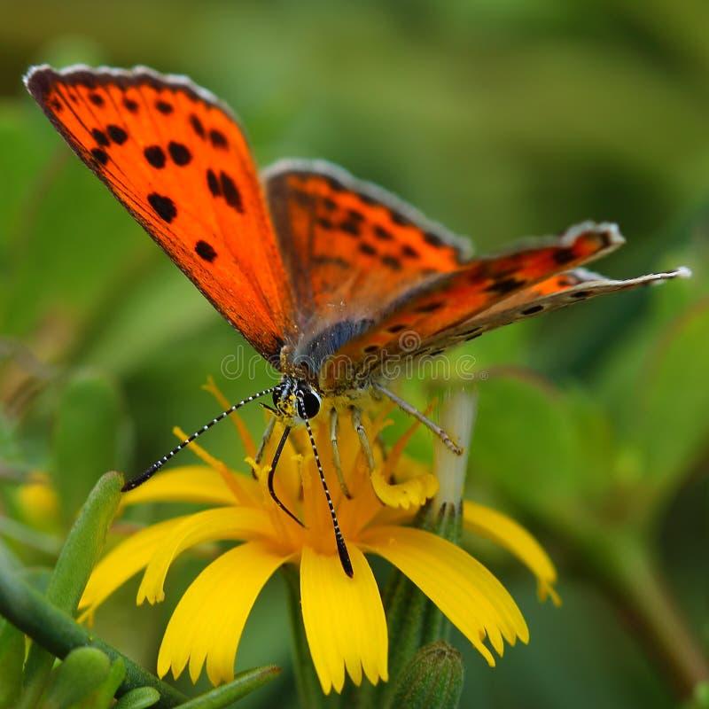 Mariposa que introduce en la flor amarilla fotos de archivo libres de regalías