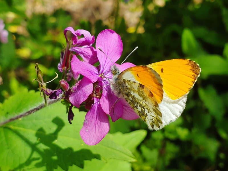 Mariposa que recoge el n?ctar imágenes de archivo libres de regalías