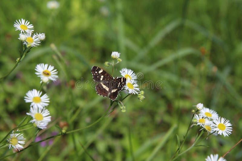 Mariposa que se sienta en Daisy Flower imágenes de archivo libres de regalías