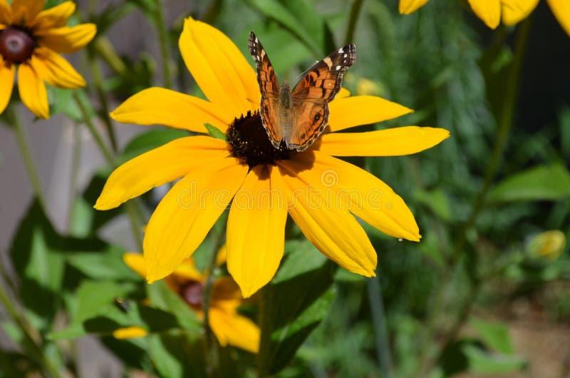 Mariposa que se sienta en una Susan observada negro floreciente foto de archivo