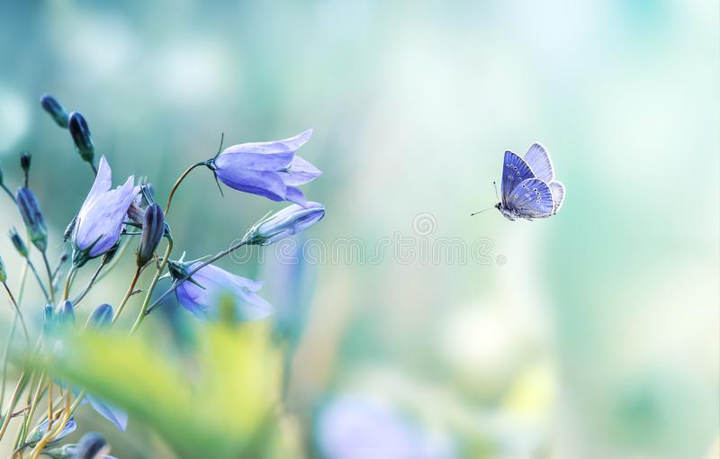 Mariposa que vuela con los bellflowers de la lila imágenes de archivo libres de regalías