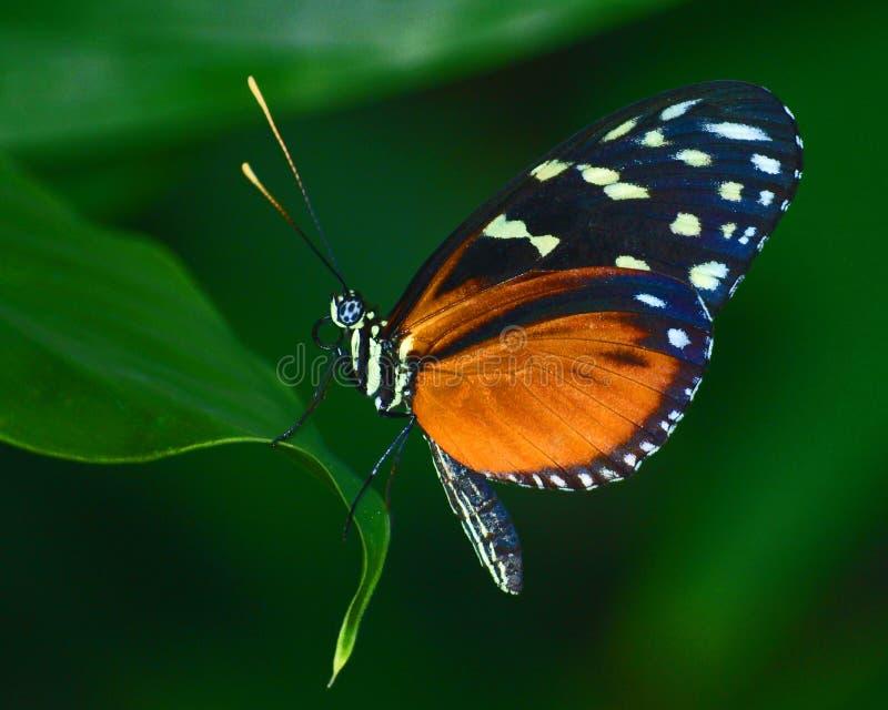 Mariposa roja de la galleta foto de archivo libre de regalías