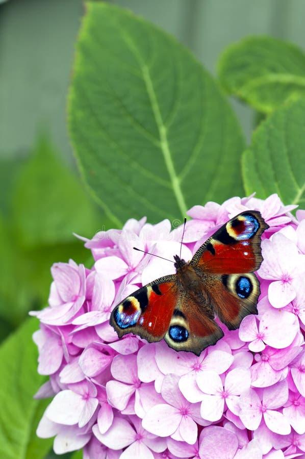 Mariposa roja en la flor rosada imagenes de archivo