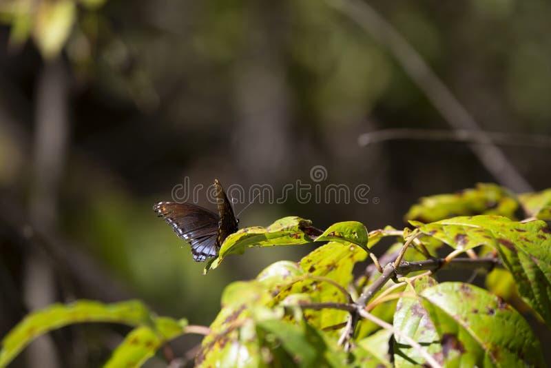 mariposa Rojo-manchada del almirante imagen de archivo