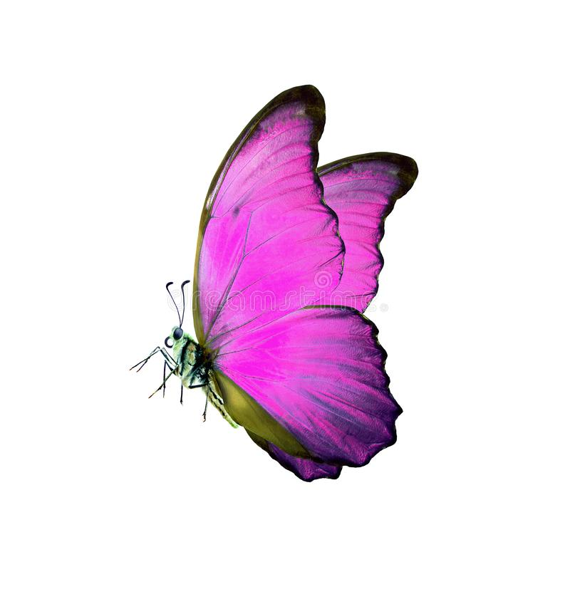 Mariposa rosada brillante del morpho aislada en blanco fotos de archivo
