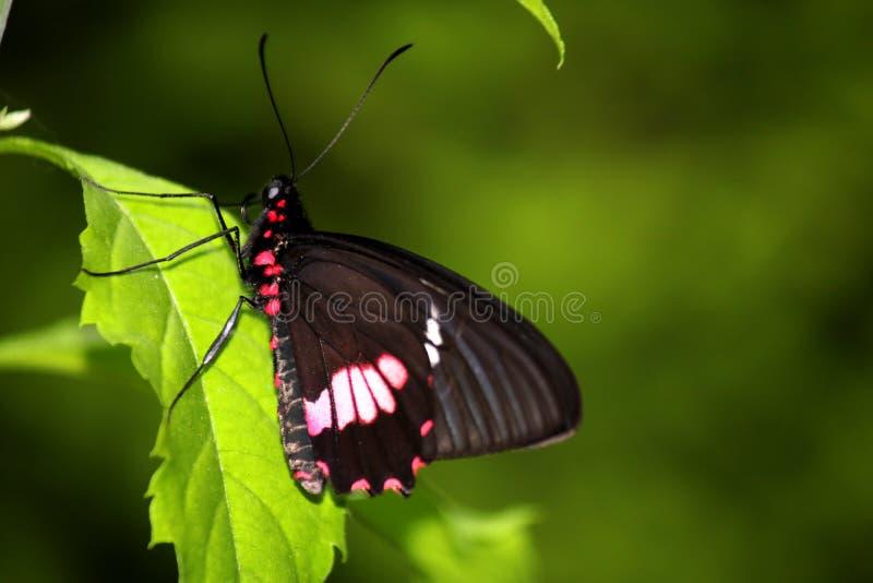 Mariposa rosada de Cattleheart en una hoja verde clara imagen de archivo