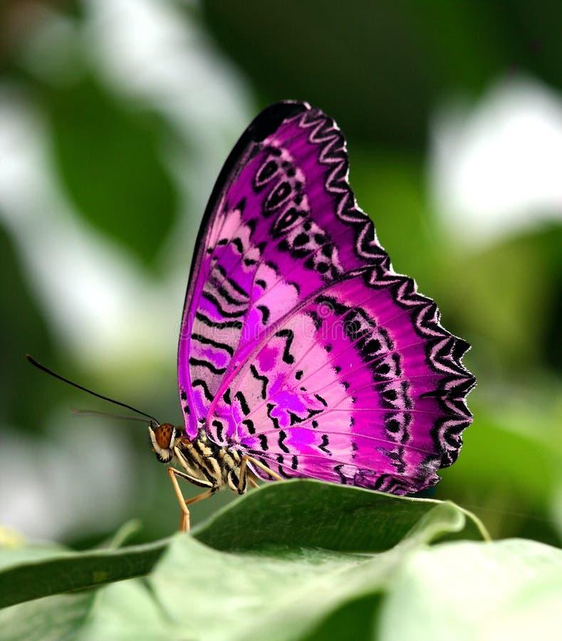 Mariposa rosada en la hoja fotos de archivo libres de regalías