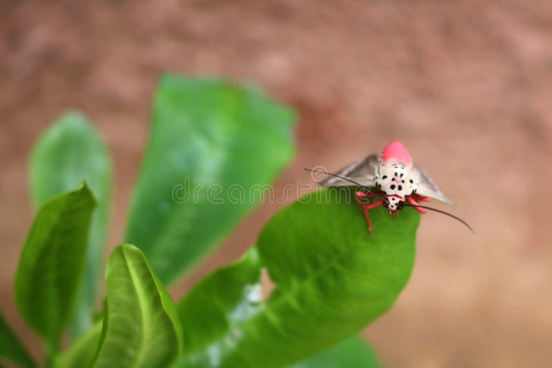 Mariposa rosada en una hoja foto de archivo libre de regalías