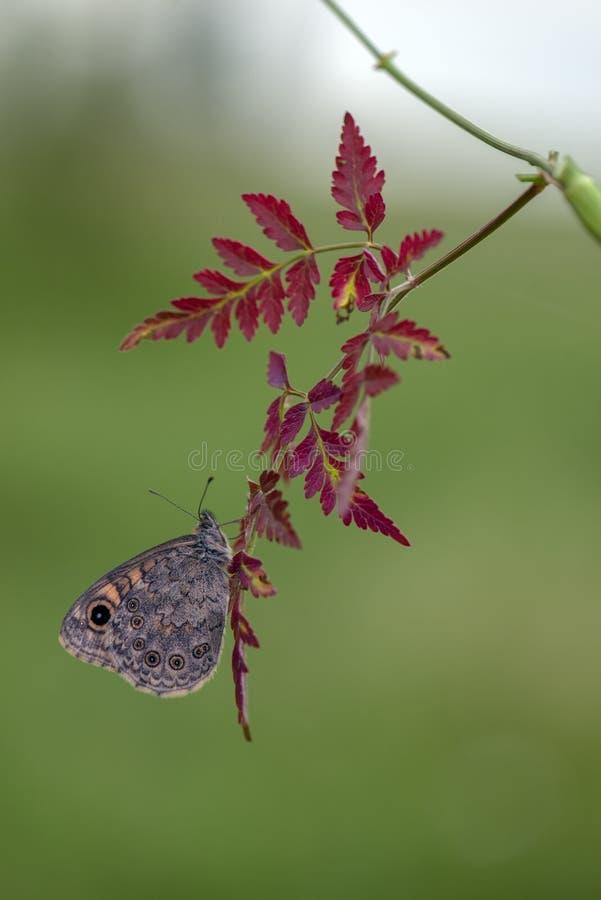 mariposa Satyridae en una rama en un claro del bosque en una mañana del verano imagen de archivo libre de regalías