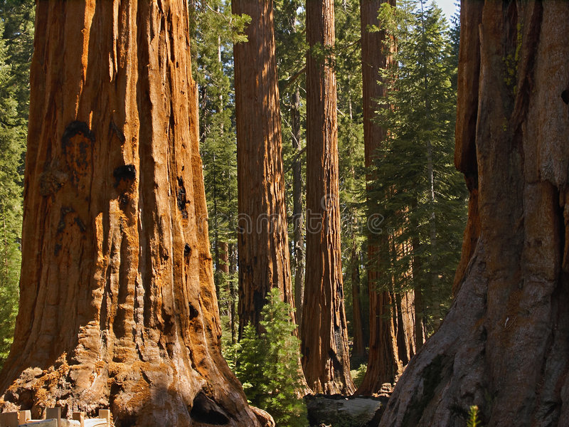 Mariposa sequoias. Sequoias in the Mariposa Grove, Yosemite National Park stock image