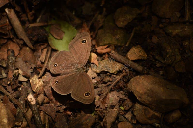 Mariposa threering común del asterope del ypthima que sorprende imágenes de archivo libres de regalías