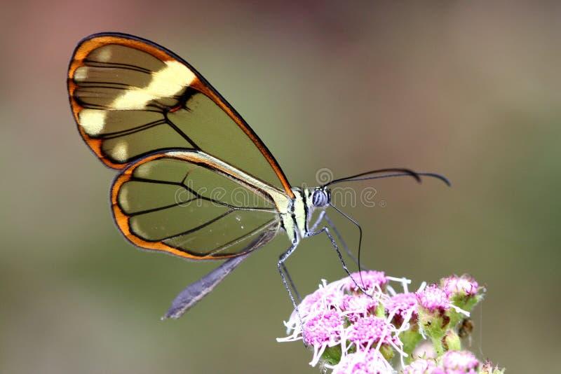 Mariposa translúcida imagenes de archivo