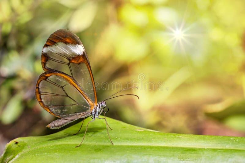 Mariposa transparente del ala - oto de Greta imagen de archivo