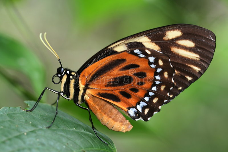 Mariposa tropical 4 fotografía de archivo libre de regalías