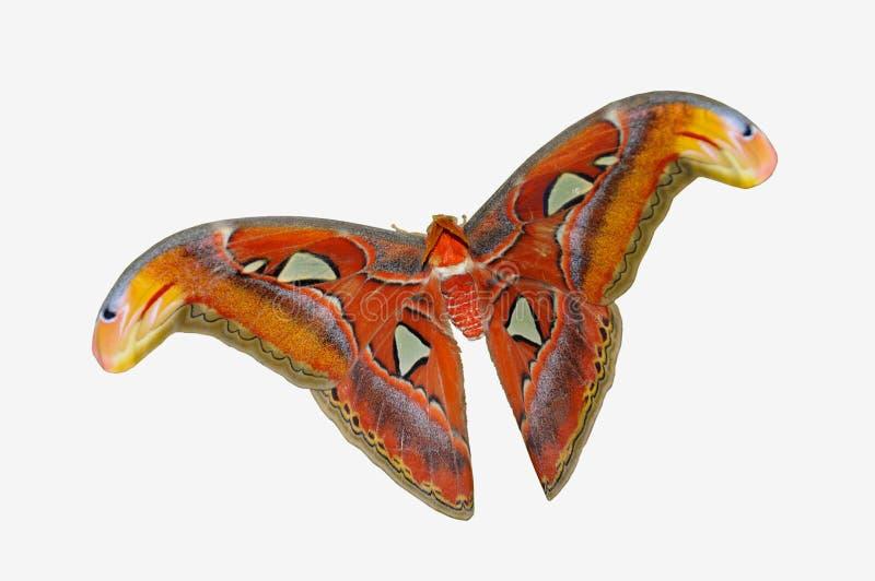 Mariposa tropical de la polilla de atlas aislada fotografía de archivo libre de regalías
