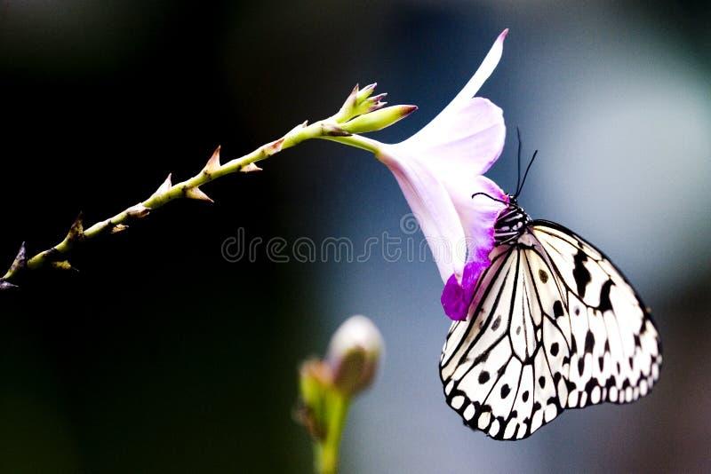 Mariposa tropical de la selva tropical fotografía de archivo