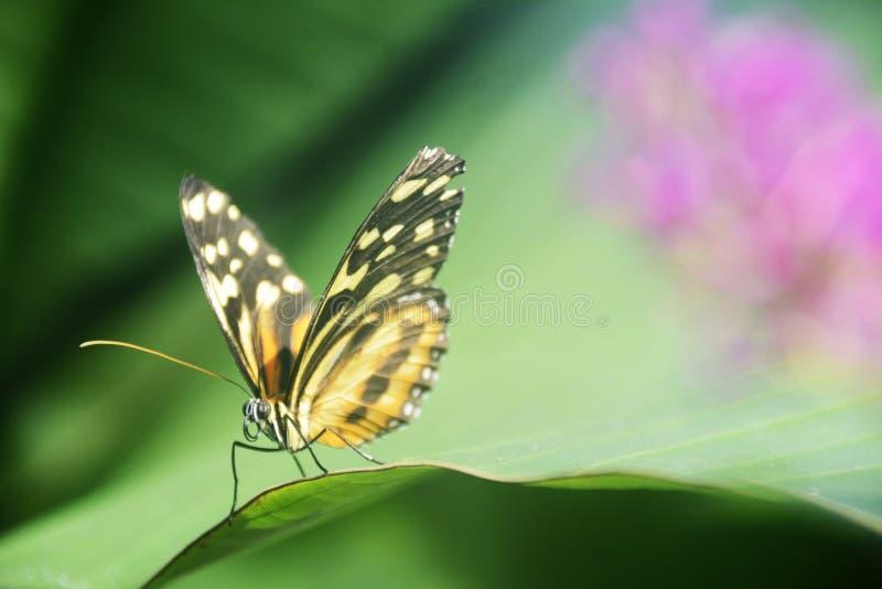 Mariposa tropical en una hoja verde con el fondo rosado imagenes de archivo