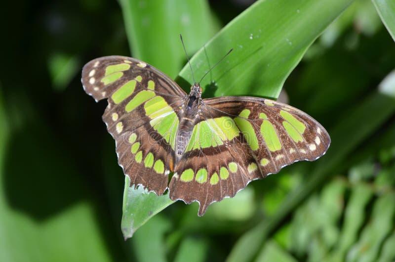 Mariposa tropical hermosa de la malaquita en el Sun fotos de archivo