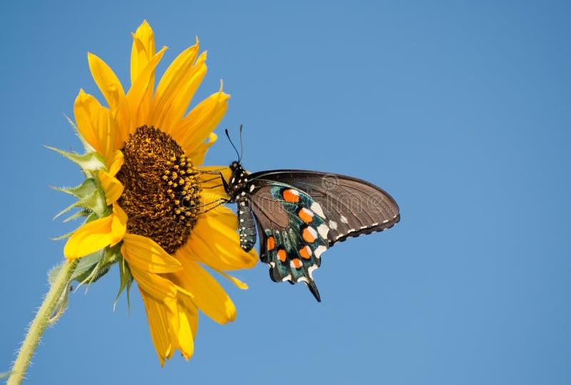Mariposa verde de Swallowtail en el girasol salvaje imagen de archivo